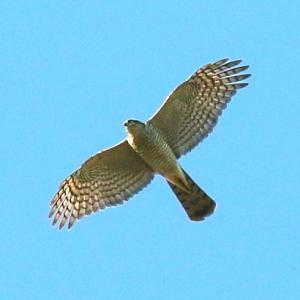 【野鳥】我が家で撮った猛禽類ハイタカ、モズ、ジョウビタキ