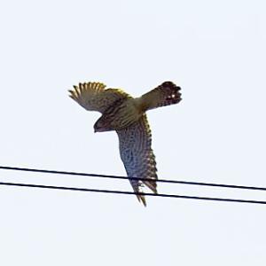 【野鳥】猛禽類チョウゲンボウがカラスに追われ逃げる