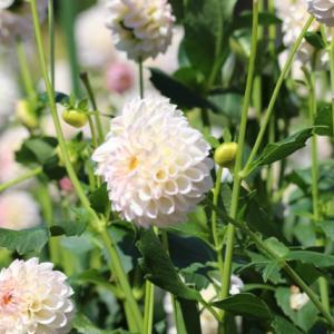 2019ダリアの花-1(奈良県営 馬見丘陵公園)
