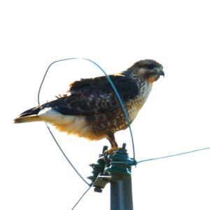 【野鳥】猛禽類ノスリです