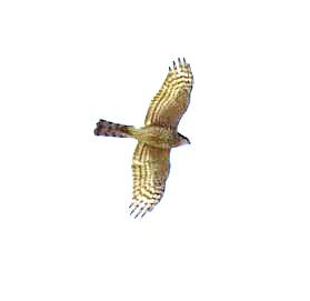 【野鳥】岩国門前川のオオタカ・ヨシガモ・ケリ