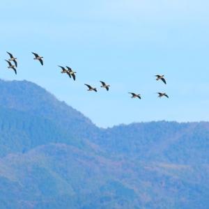 【野鳥】12月出雲平野のマガンの午後