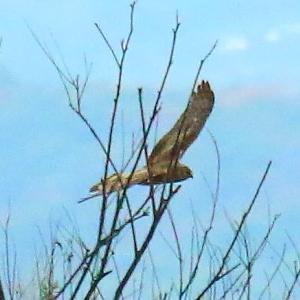 【野鳥】猛禽類ハイイロチュウヒの♀だと思う。