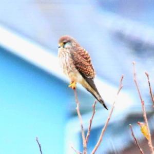 【野鳥】家の前に来るチョウゲンボウが可愛い~♪