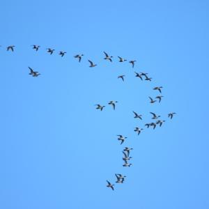 【野鳥】門前川河口をオナガガモの群れが飛ぶ!