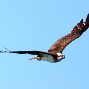 【野鳥】島田川水系を頂点とする猛禽類ミサゴ!