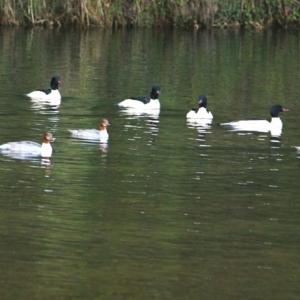 【野鳥】佐波川・島地川水系のカワアイサ・キンクロハジロ・ヒドリガモとノスリ