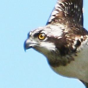 【野鳥】猛禽類ミサゴの迫力!