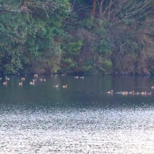 【野鳥写真】オシドリのダム