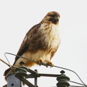 【野鳥】猛禽類ノスリ inツルの里八代