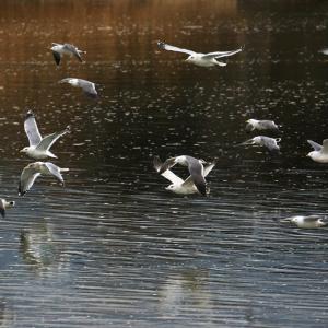 【野鳥写真】島田川河口のウミネコ