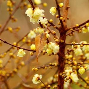 【花】蝋梅(ロウバイ)が見頃です!