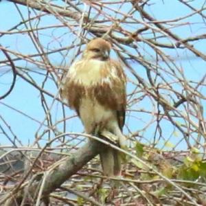【野鳥】猛禽類ノスリもカラスの猛攻を受ける