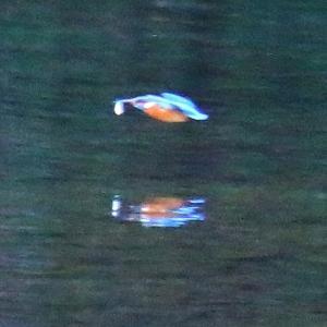 【カワセミの里】お魚を銜えてカワセミちゃんが飛ぶ!