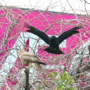 【野鳥】新入りノスリにカラス・トビが波状攻撃していいる!