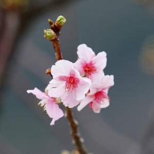 2020上関城山歴史公園河津桜の開花状況(1月25日)-2