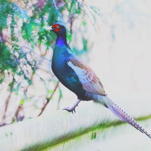 日本の国鳥「キジ」