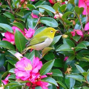 【野鳥】メジロ・ジョウビタキ♀・シロハラ・ルリビタキ♀・アオジ・エナガ・ミヤマホオジロ・ホオジロ