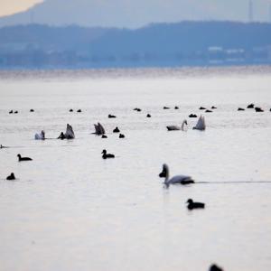 【野鳥】逆立ち採食するコブハクチョウ(宍道湖)