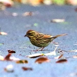 【野鳥】キクイタダキ・ルリビタキ♀・シロハラ・アオジ・エナガ・ヤマガラ・ミヤマホオジロ