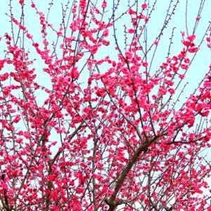 【花】好きな梅の花の色