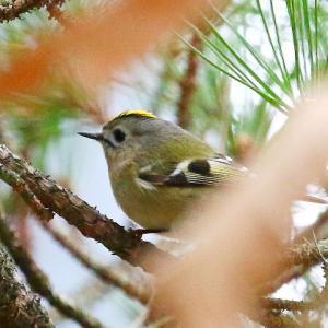 【野鳥】日本最小のキクイタダキ♂の冠羽の黄色い中に赤い羽毛があるって本当?