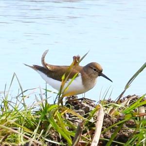 【野鳥】2月の蓮田の野鳥-1 イソシギ・タヒバリ・ムクドリ・セキレイ・ノスリ・カワラヒワなど