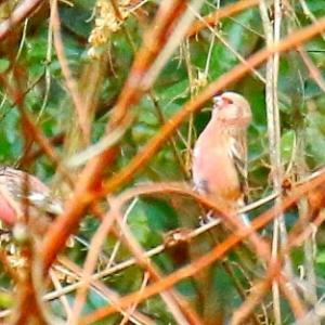 【野鳥】ベニマシコとミヤマホオジロ