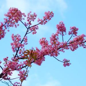 2020年上関城山歴史公園の河津桜、今が満開です~♪