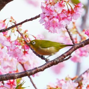 【野鳥】メジロと河津桜