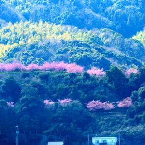 上関城山歴史公園の河津桜が満開です♪~