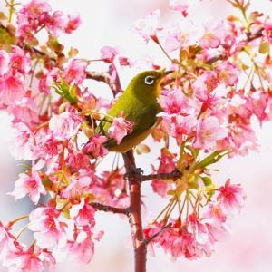 【野鳥】懲りないメジロ河津桜と可愛いコゲラ