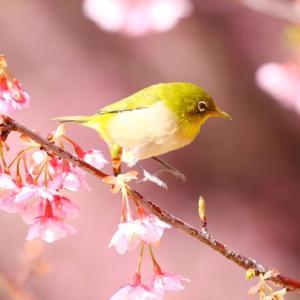 【野鳥】毎日見るメジロと河津桜!