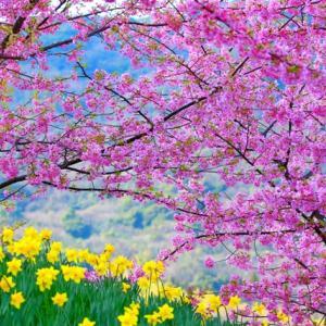 【風景】河津桜の城山(上関町)