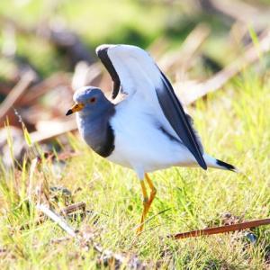 【野鳥】鳬(ケリ)の羽ばたきがとても綺麗です!