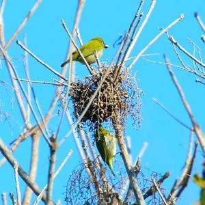角島大橋の野鳥 ミサゴ・メジロ・アオサギ