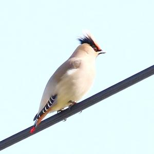 【野鳥】ヒレンジャク・キレンジャクが我が家の傍に来ました♪~