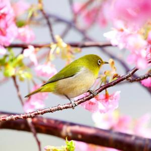 河津桜とメジロで和みましょう!