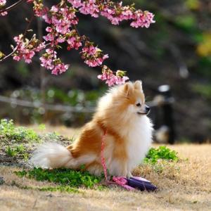 河津桜とさくらちゃん!