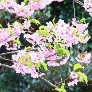 笠戸島の河津桜が満開で~す!