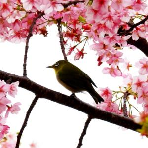【野鳥】メジロ(笠戸島)