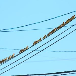 【野鳥】約65羽のヒレンジャク混群を目撃(周南市)