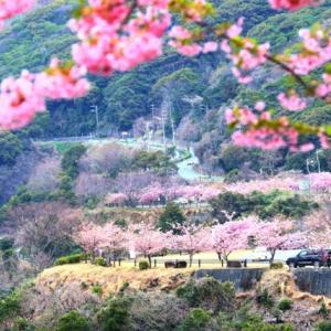 【風景写真】笠戸湾のさくら