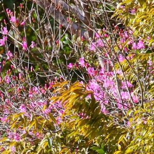 【花】ミツバツツジが咲いている!