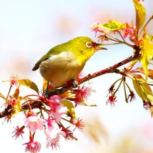 【花】上関河津桜と黄色い水仙
