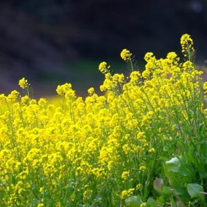【花】菜の花がいっぱい咲いています!