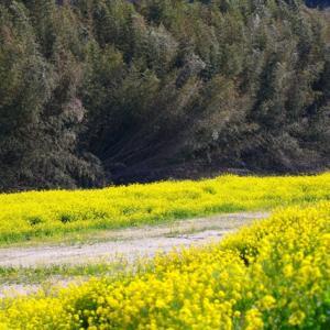 【花】春のお彼岸の菜の花が綺麗です!