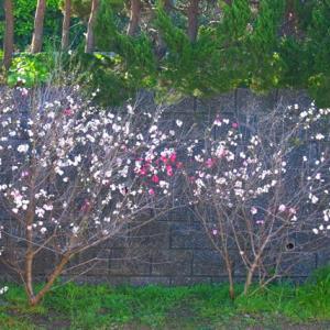 【花】源平花桃の紅白がきれい~♪