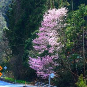 【花】周南市の桜巡り(1)
