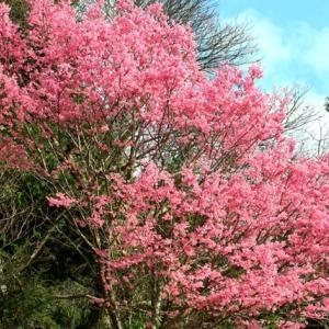 【花】周南市の桜巡り(2)